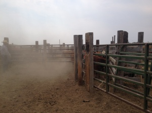 A dusty day in the corrals