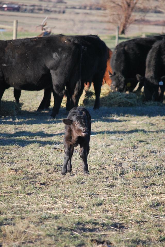 Feeding, first calves 2016 026