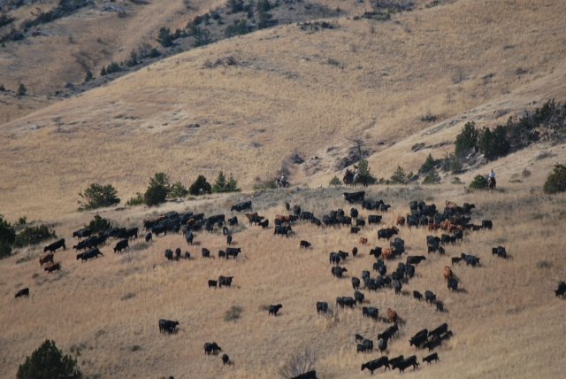 Sept. 2017 moving cows to Cramp Springs 011