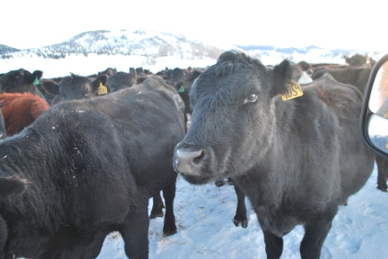 winter cows and feeding 007