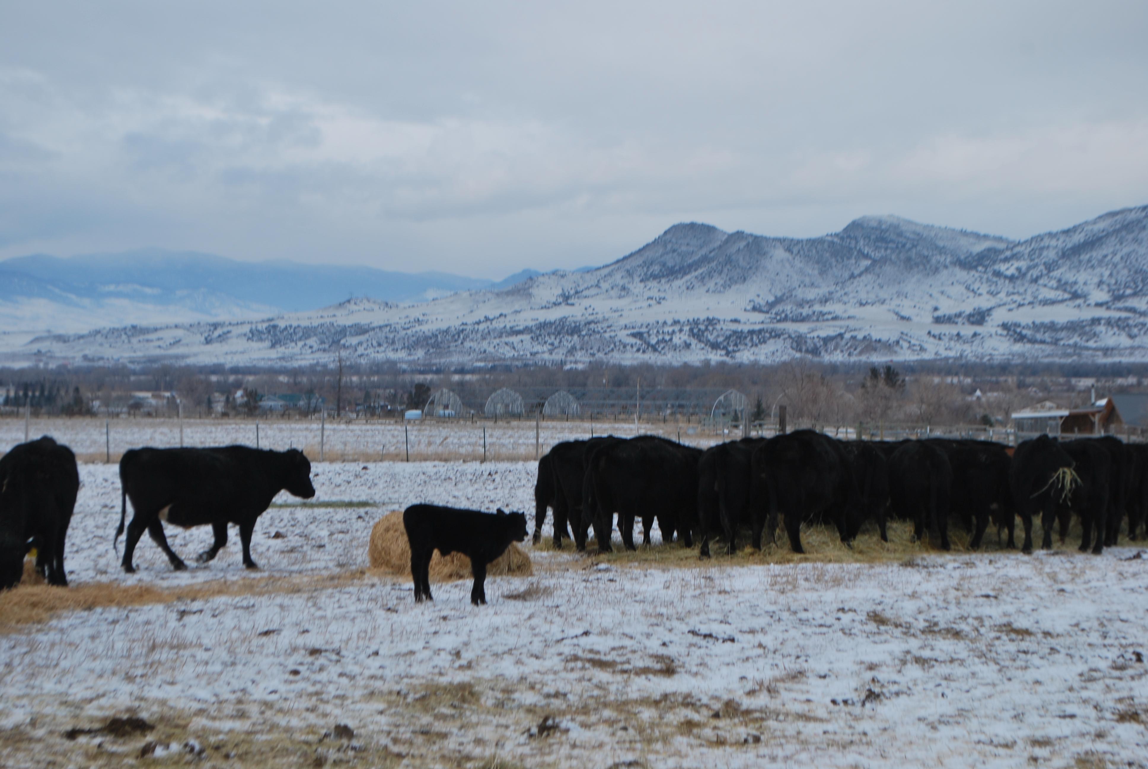 winter feeding, cows, January calf 031
