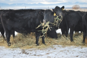 winter feeding, cows, January calf 033