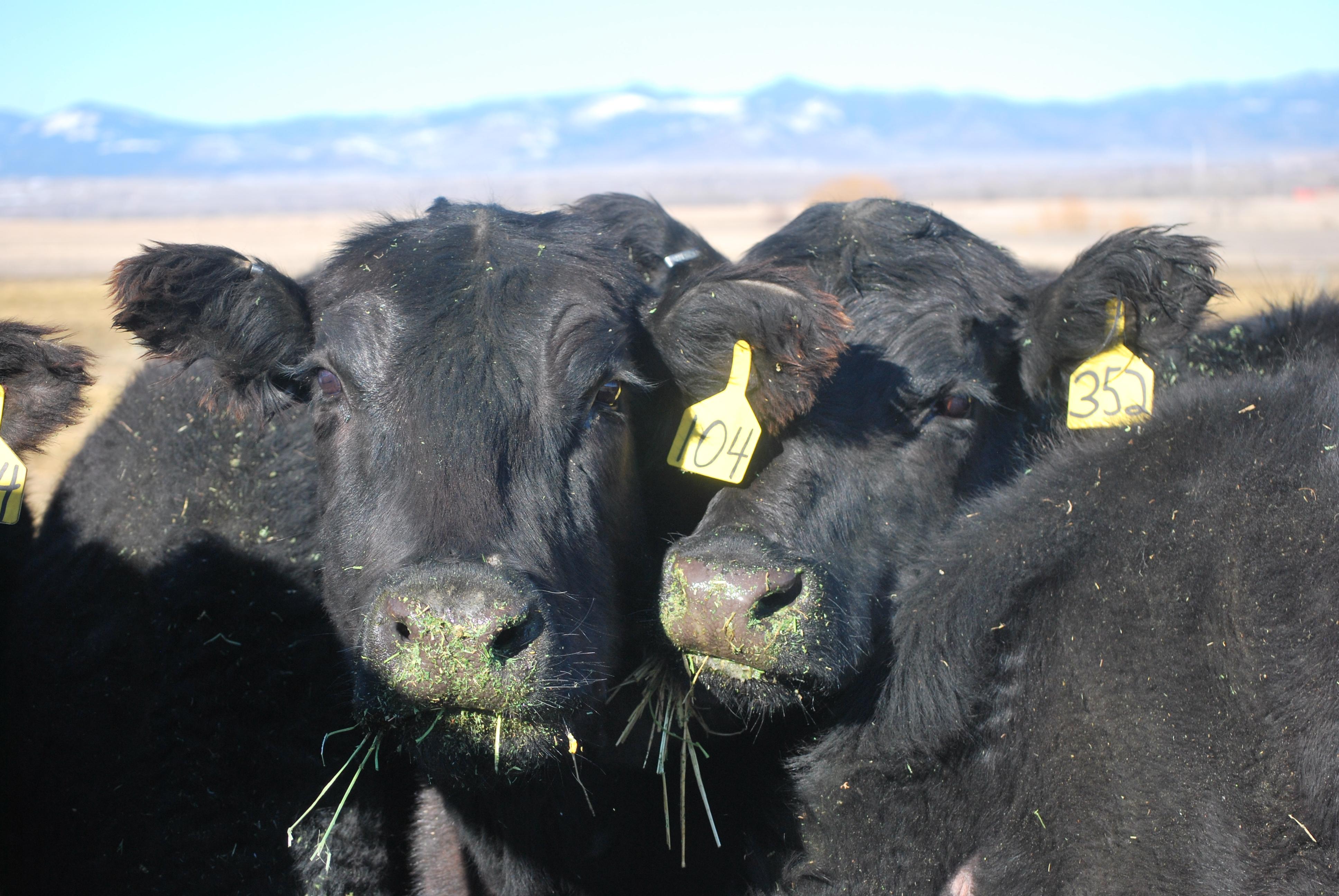 winter cow trail, feeding in March 2017 036