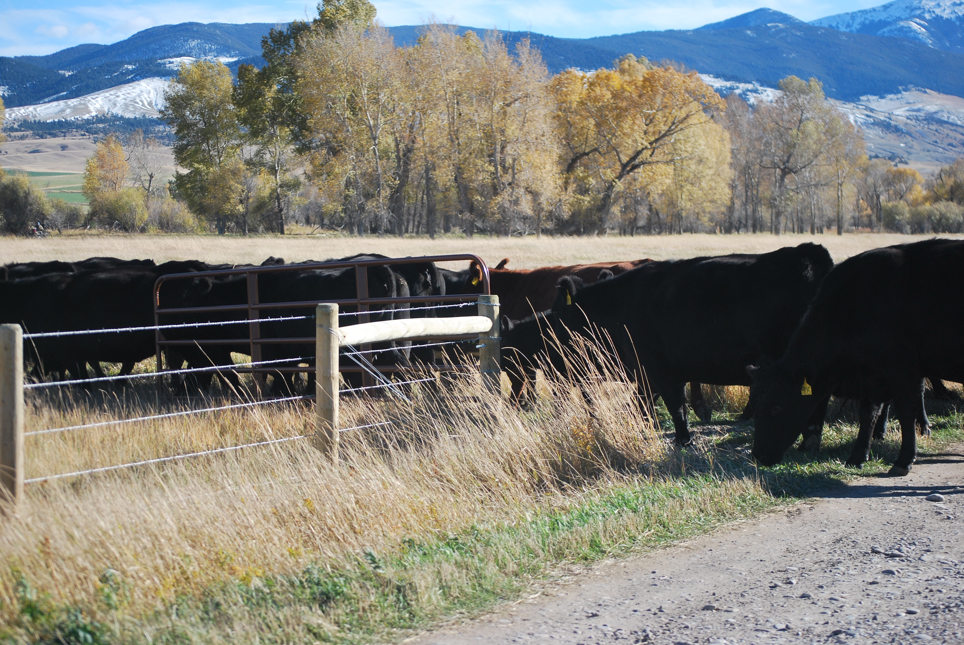 Fall photos 2018, cows and land 065